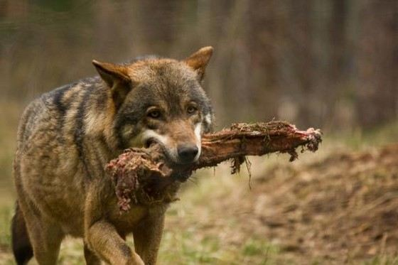 Крупные обыкновенные серые волки живут и в пустынях, и в тундре