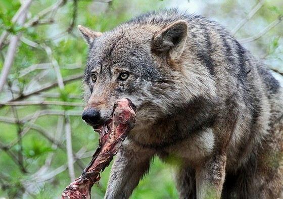 Встречаются волки, съедающие слабых сородичей
