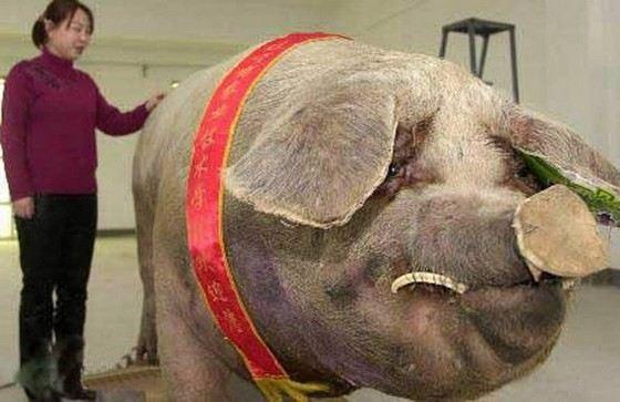 Самый большой поросенок в Китае Чунь-Чунь весил 900 кг