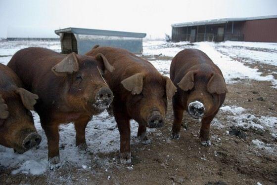Дюрок - крупная порода свиней, популярная в США