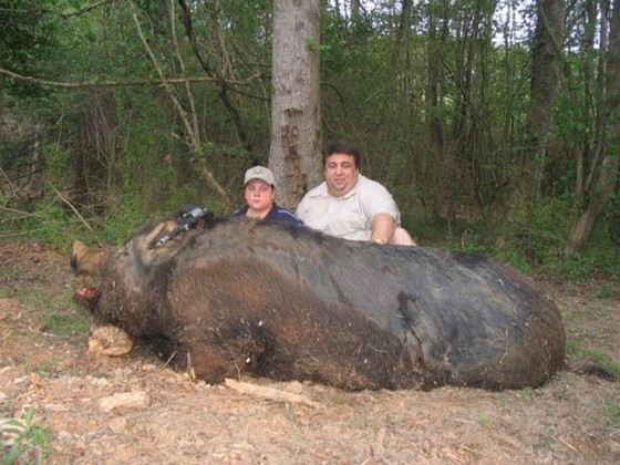 Огромная дикая свинья весом около 300 кг