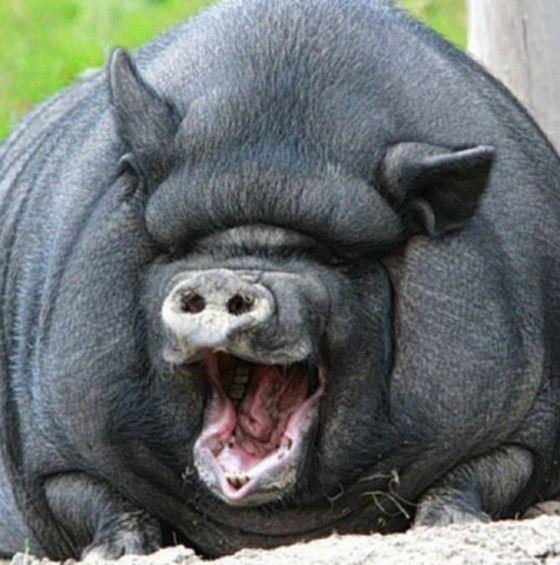Самая большая свинья в мире была глостерской породы