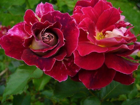 Ruffles roses have unusual wavy petals.