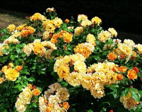 Удивительные гофрированные розы