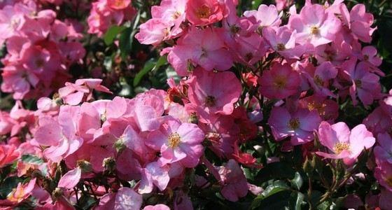 Розы, не похожие на розы Phlox Meidiland