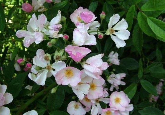 Розы Pink Magic считаются одними из самых изысканных