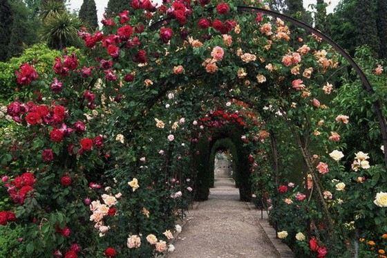 Curly Roses Rambler