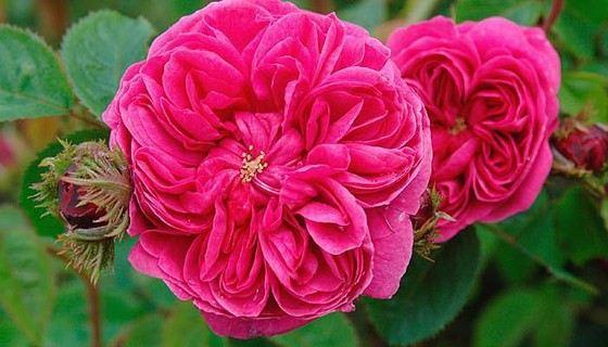 Крупные розы необычной формы Галлика