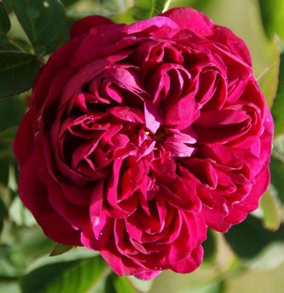 Rose de Resht старинный красивый сорт цветов