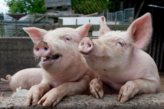 Свиньи такие же умные, как собаки