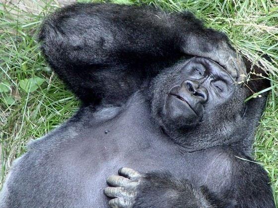 Некоторые считают самыми умными животными горилл