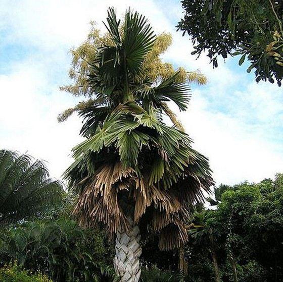 Талипотовая пальма - растение с самым большим соцветием