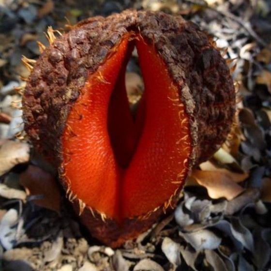 Необычный цветок Гиднора пахнет фекалиями