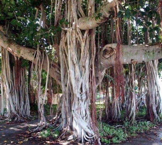 Лиановидная пальма ротанг - самое длинное земное растение