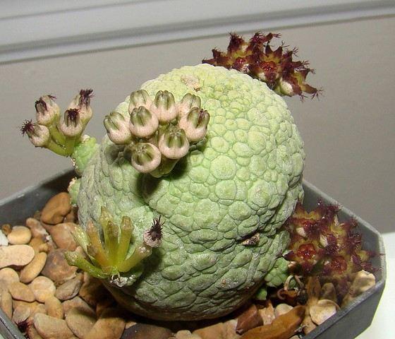Псевдолитос одно из самых необычных домашних растений