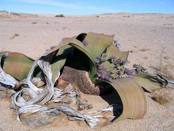 Удивительное растение Вельвичия удивительная живое выглядит, как мертвое