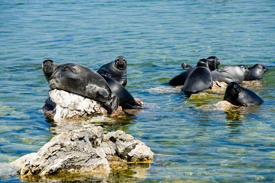 Тюлень-нерпа - представитель фауны самого глубокого озера Байкал