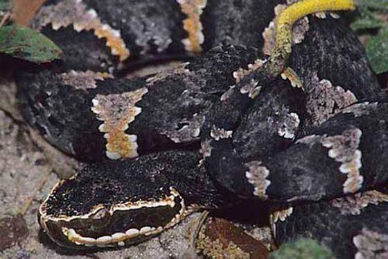 Одна из самых коварных ядовитых змей - кантиль