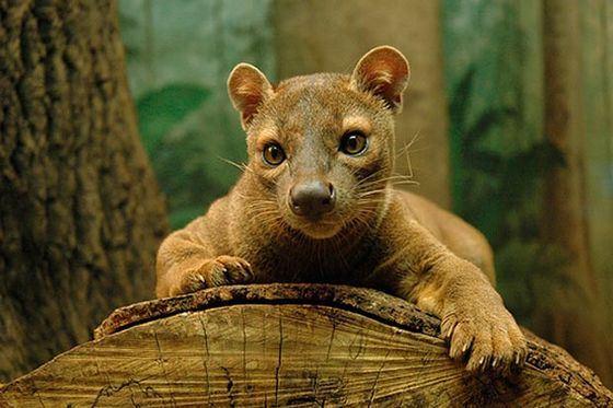 Фосса - один из самых редких и необычных хищников