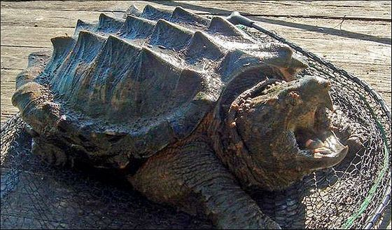 Грифовая черепаха успешно ловит рыбу