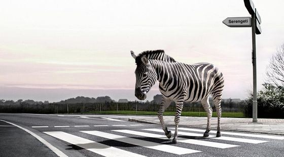 Переносная зебра оказалась бесполезным ноу-хау