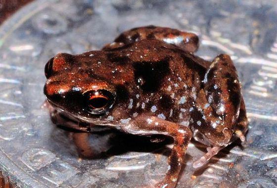 Paedophryne - самая маленькая в мире лягушка