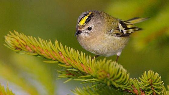 Желтоголовый королёк самая маленькая птица в России