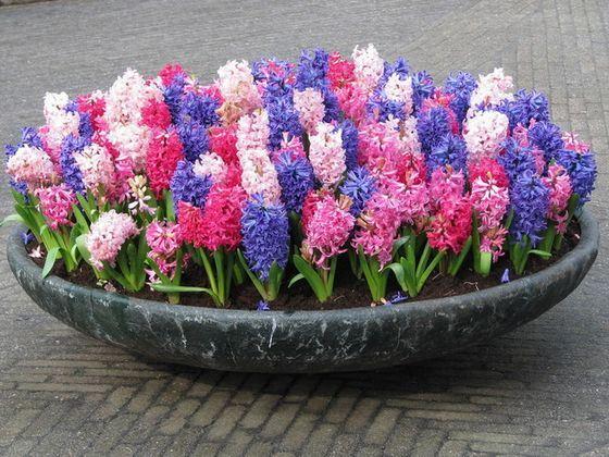Гиацинты - красивые цветы с приятным запахом