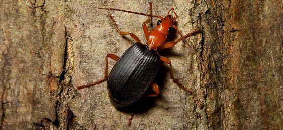 Жук-бомбардир самое дурнопахнущее насекомое