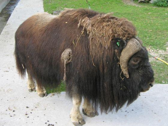 Свою территорию овцебык метит тоже при помощи запаха