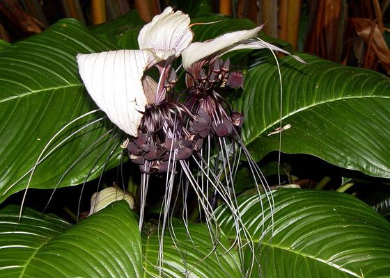 Такки удивительное домашнее растение