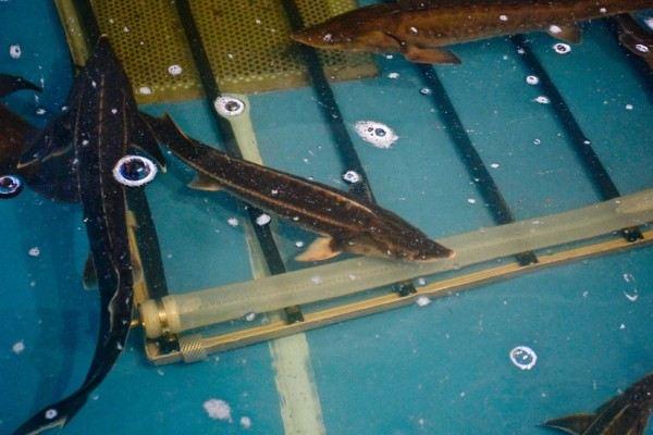В Тюмени начнут разводить товарную рыбу