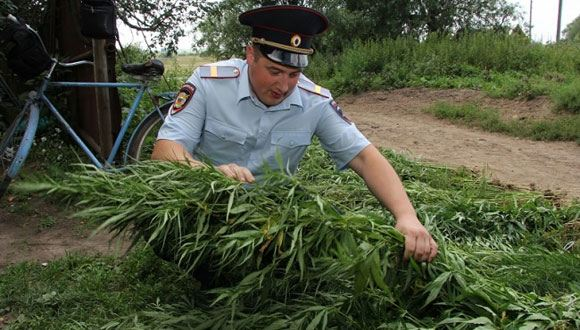 Костромской пасечник защитил свою плантацию конопли пчелами