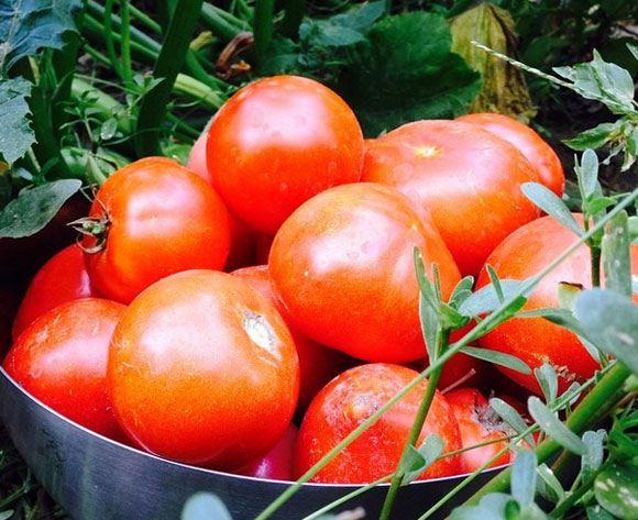 Алена Свиридова собрала на своей даче урожай помидоров
