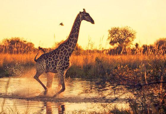 Самое высокое животное на Земле - жираф
