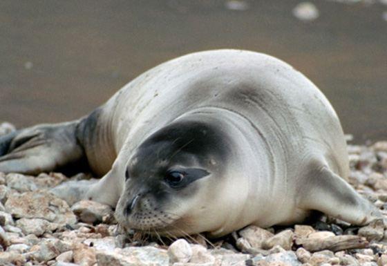 Тюлень - большое млекопитающее