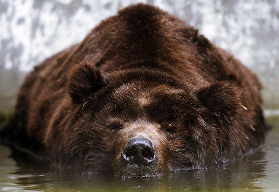 Медведь кадьяк - самое большое плотоядное животное