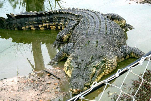 Крокодил - самая большая рептилия