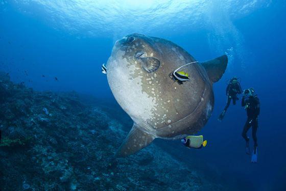 Океанская солнечная рыба - самая большая из рыб