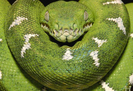 Самая большая змея - зеленая анаконда