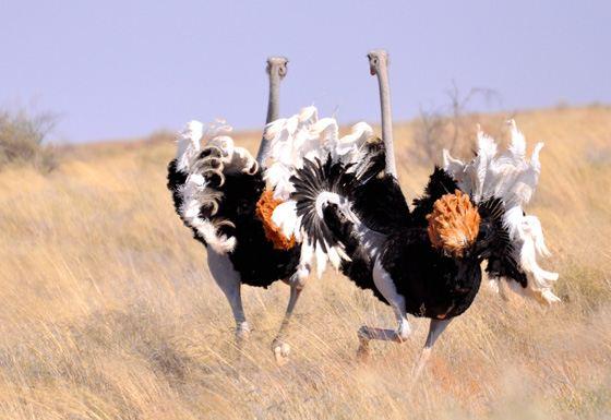 Самая большая птица на Земле - страус