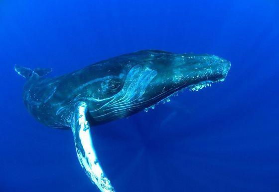 Самое большое животное в мире - голубой кит