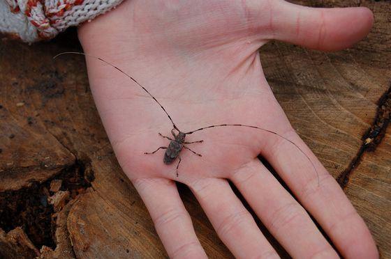 Усач серый - жук с самыми длинными усами