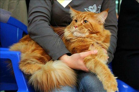 Мейн-куны - кошки с очень длинными усами