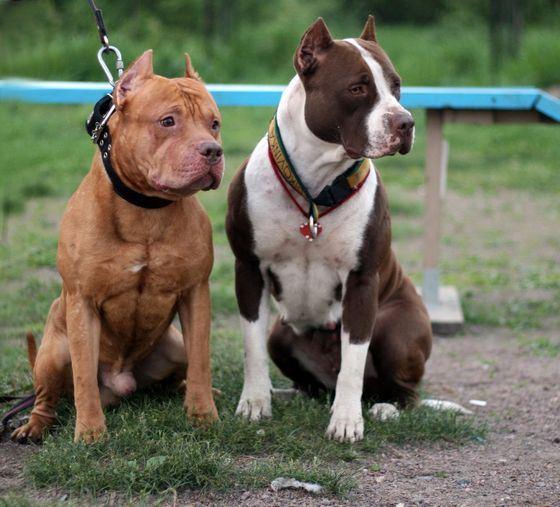 Бойцовские собаки (фото): сочетание силы и - Kot-Pes