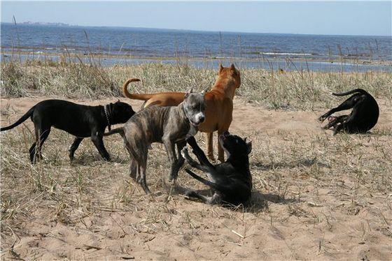 Бриндизские бойцовые собаки очень агрессивны