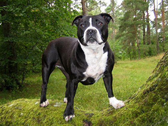 Стаффордширский терьер считается самой злой породой собак