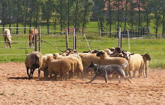 указать точные породы собак назначение пастух для скота видео описание много разновидностей