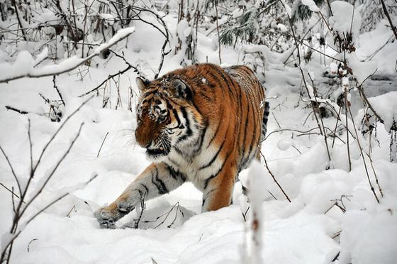 Now there are many species of rare cats in the Red Book, including the Amur tiger