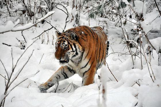 Сейчас в Красной книге много видов редких кошек, в том числе - амурский тигр